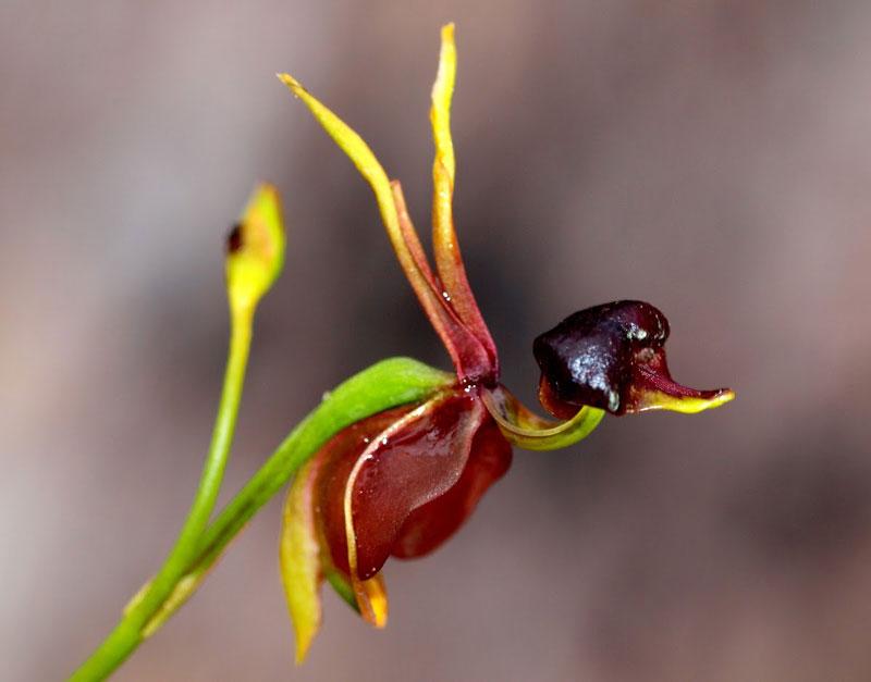 Loài hoa vịt bay này có mọc nhiều ở miền Đông và Nam Australia.