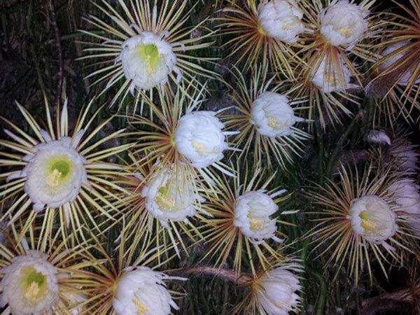 Xương rồng khế được tôn vinh là loài hoa đẹp nhất trong số những loài hoa xương rồng từng được biết