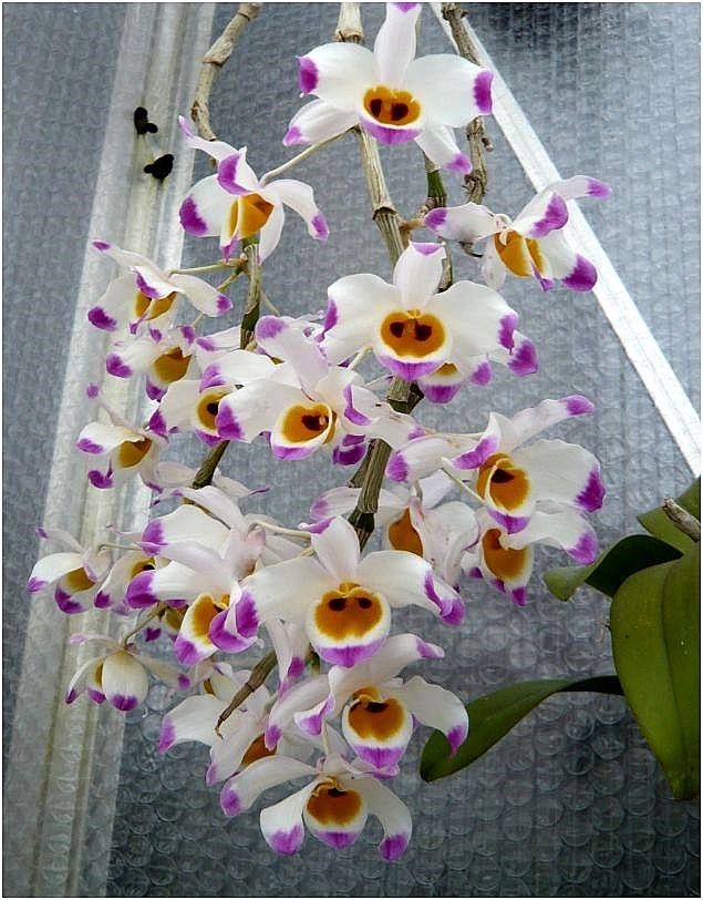 Hình dạng của hoa Hoàng Thảo