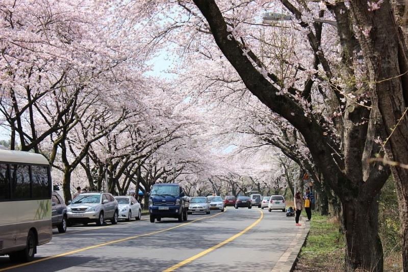 Lượng khách đổ về ngắm hoa anh đào ở Jeju rất lớn