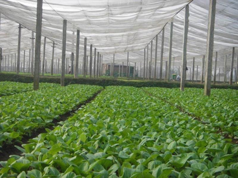Vườn rau sạch mướt mắt của hợp tác xã rau sạch Vân Nội
