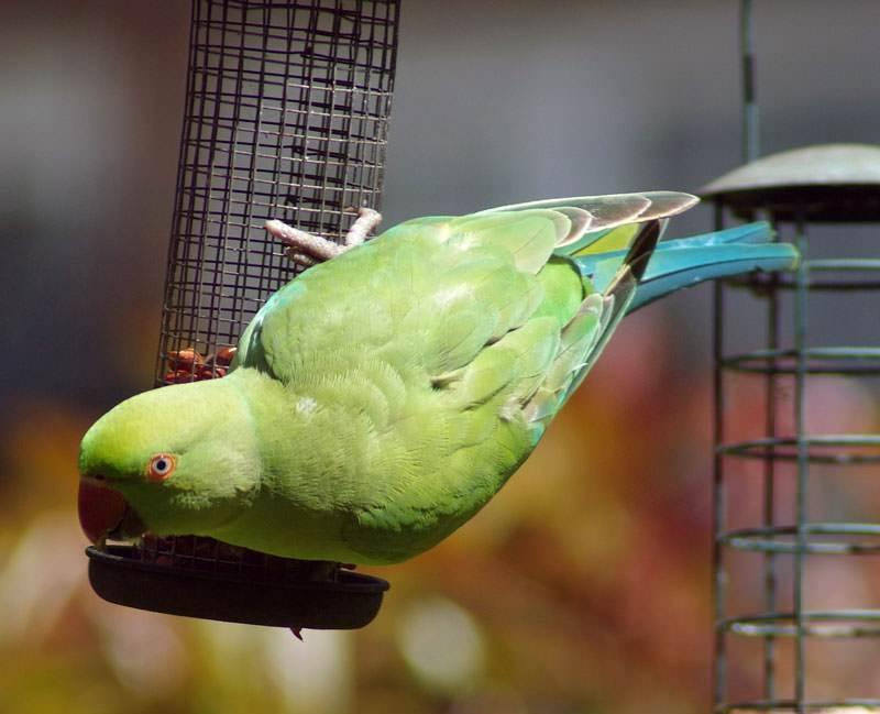 Vẹt Indian Ring Parakeet gây ấn tượng với một khả năng xuất sắc trong việc phát âm những chữ mà chúng học được