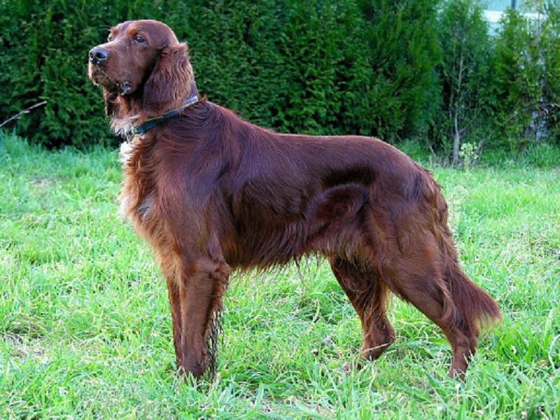 Những chú chó Irish Setter cũng rất hay tò mò
