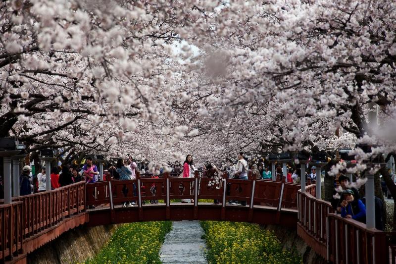 Trong suốt những ngày diễn ra hội hoa anh đào Jinhae sáng bừng sức sống mãnh liệt