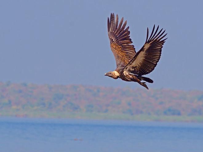 Kền kền Bengal là một trong những loài chim bay nhanh nhất thế giới