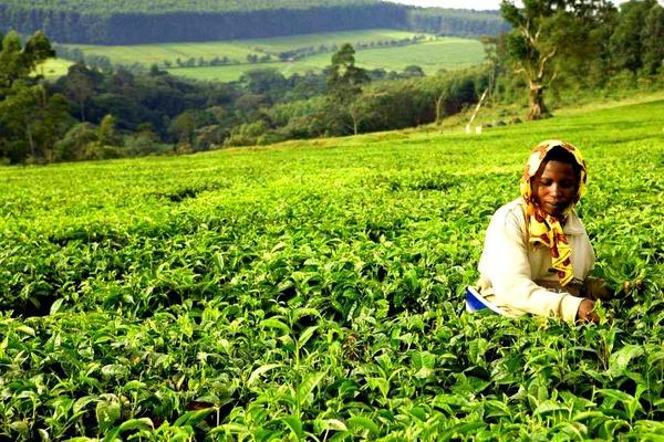Sản lượng trà của Kenya đứng thứ 3 thế giới