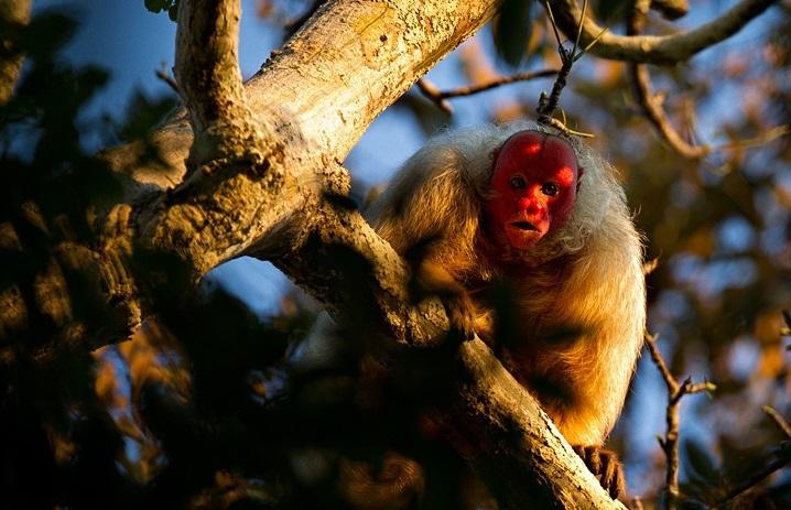 Khỉ Bald Uakari với khuôn mặt đỏ bừng bừng sát khí