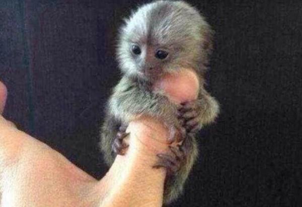 Loài khỉ Marmoset được coi là loài khỉ tí hon trên thế giới