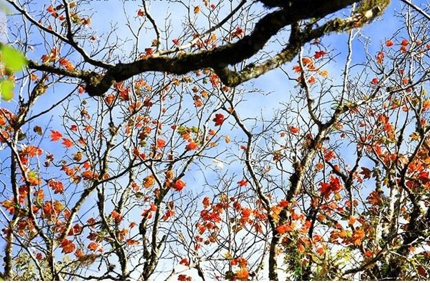 Rừng phong Đà Lạt (nguồn: tiin.vn)