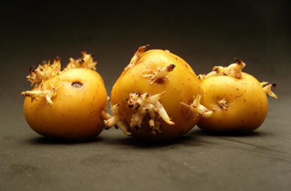 Khoai tây mọc mầm là thực phẩm cực độc