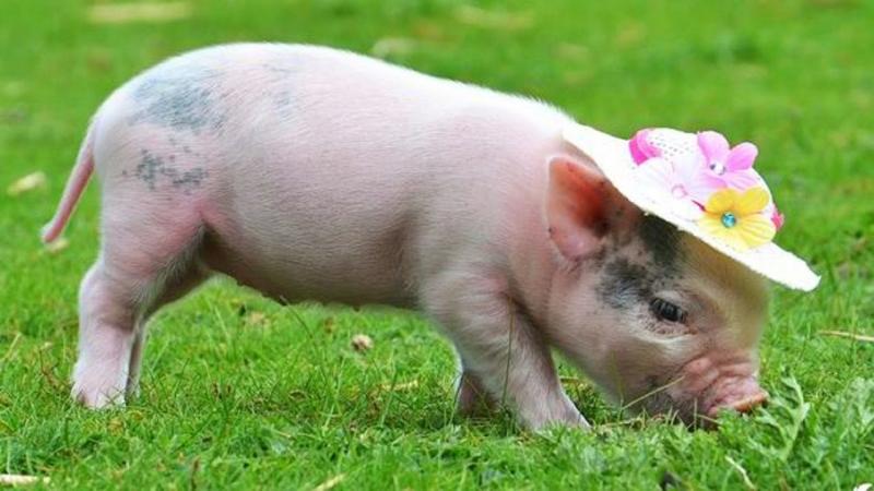 Người Hồi Giáo không bao giờ sử dụng thịt lợn trong bữa ăn.