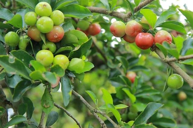 Vườn sơ ri trĩu quả