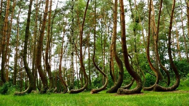 Khu rừng cây cong – Ba Lan