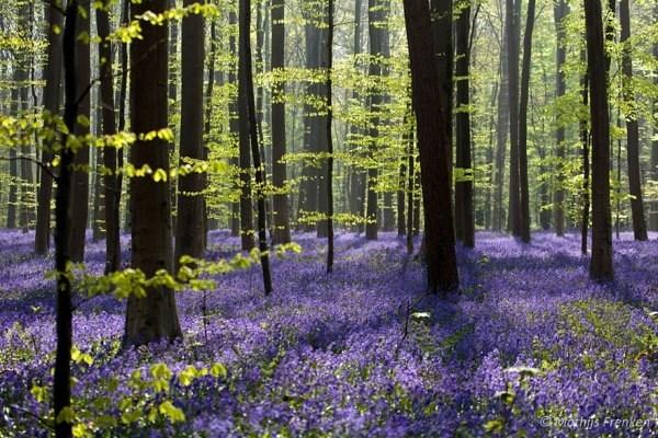 Khu rừng hoa chuông xanh  - Halle , Bỉ
