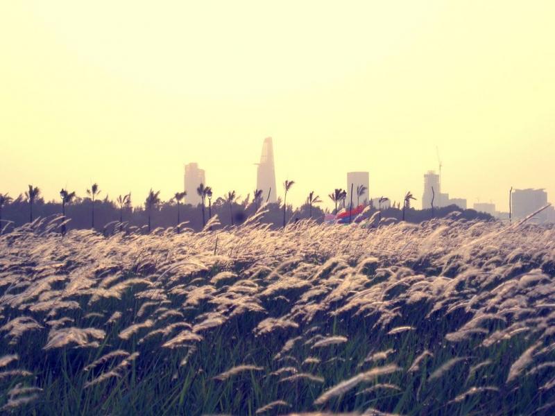 Đồng cỏ lau ở bãi thả diều đảo Kim Cương
