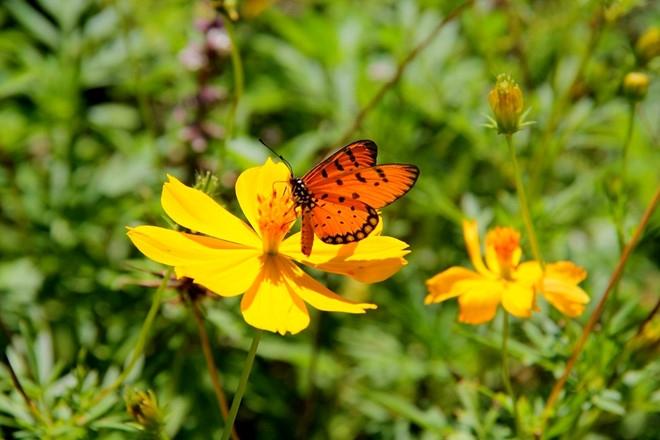 Hiền lành là bướm, nhẹ nhàng đậu trên cánh hoa làm duyên một tí rồi lại bay đi.