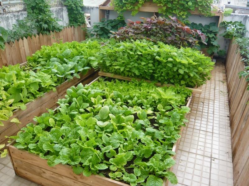 Những luống rau xanh mơn mởn.