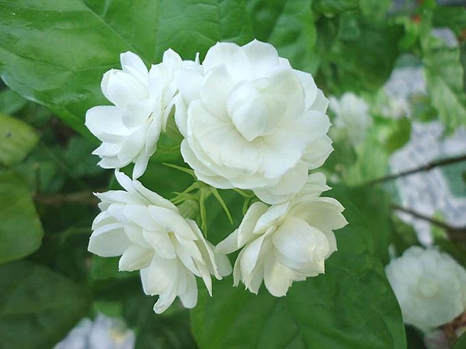 Hoa nhài trắng muốt, tinh khiết nhưng lại có mùi thơm hăng hắc, nồng nàn.