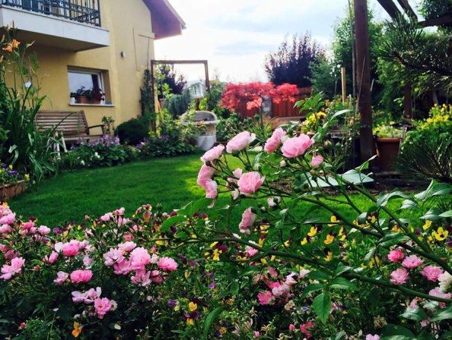 Hoa hồng không được trồng theo khóm mà chúng được trồng xung quanh vườn.