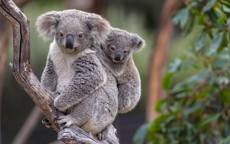 Koala còn được biết đến với tên gọi quen thuộc là gấu túi