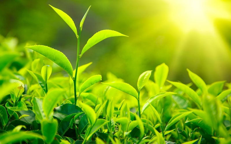 Những lá trà tươi non được hái khi mặt trời vừa ló rạng