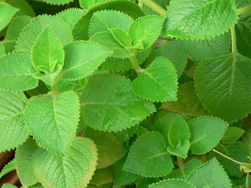 Húng chanh là loại thảo dược được cho là giúp kiềm soát ho rất tốt.