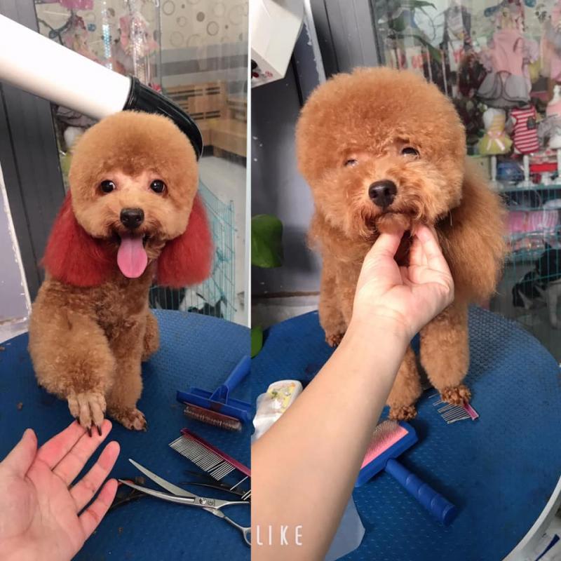 Làm đẹp cún yêu Đà Nẵng- Grooming, spa, cạo, cắt tỉa.