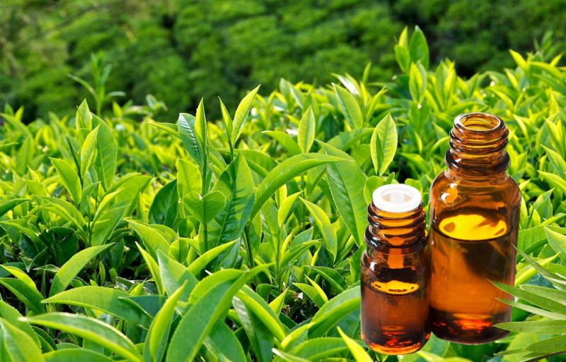 Nếu sử dụng tinh dầu trà quá mức sẽ làm phát triển ngực của nam giới