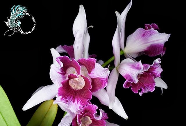 Vẻ đẹp kiêu sa của Lan Cattleya