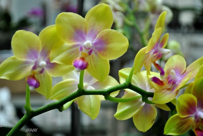 Có hơn 60 loài hoa Lan Hồ Điệp.