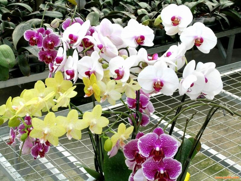 Chăm sóc đúng kỹ thuật có thể giữ hoa từ 1 - 2 tháng.