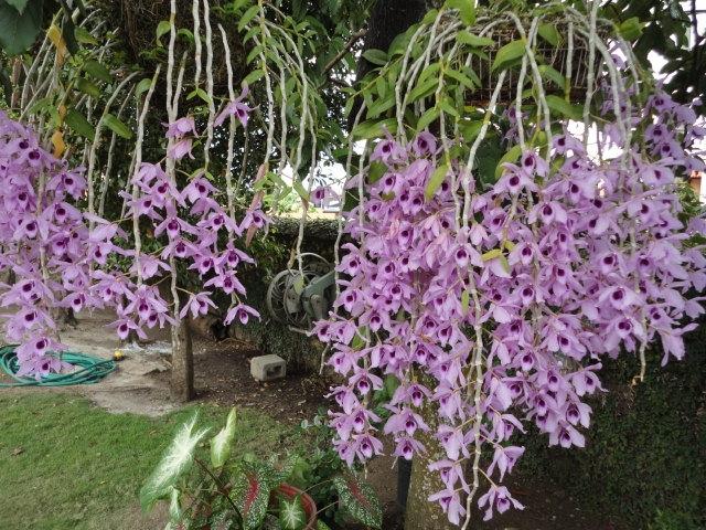 Lan Phi Diệp Tím khi nở hoa có hương thơm rất nồng nàn