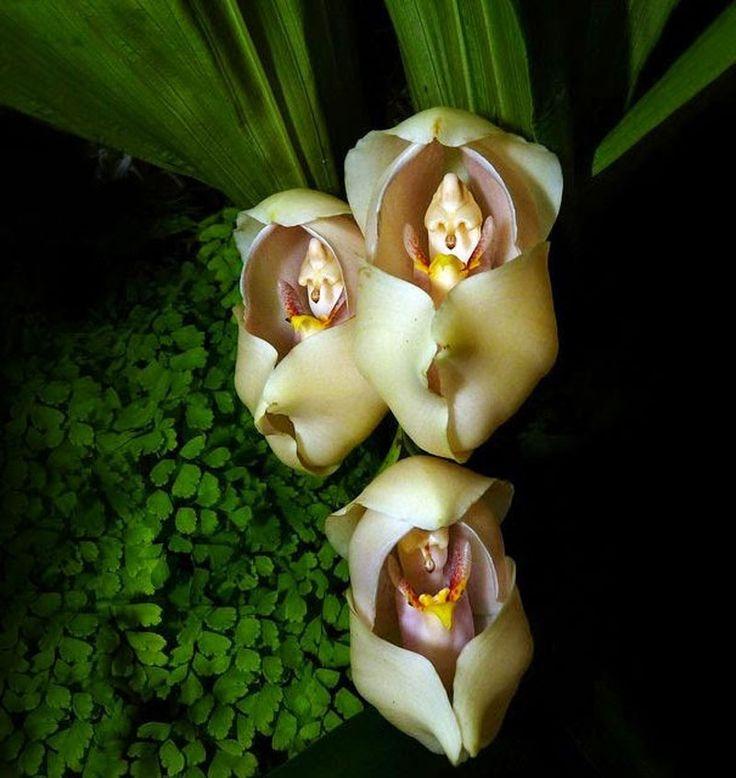 Lan tã lót em bé (Anguloa uniflora)