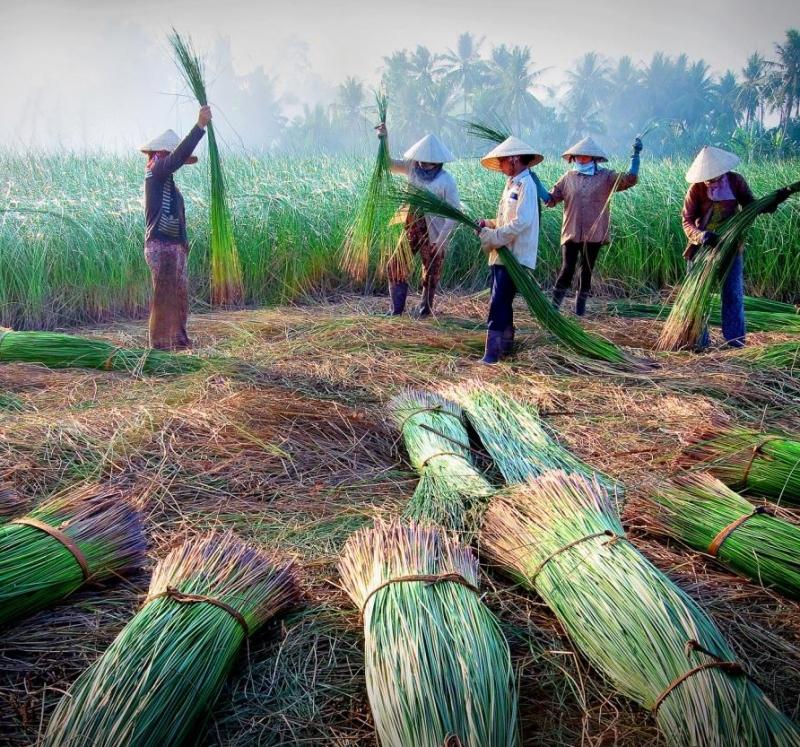 Thu hái nguyên liệu tại Hàm Tân