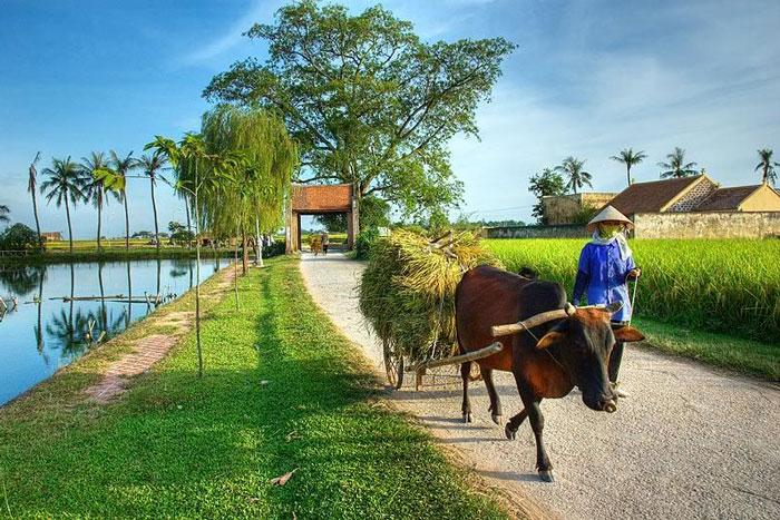 Vẻ đẹp thơ mộng vào mùa lúa chín tại làng cổ