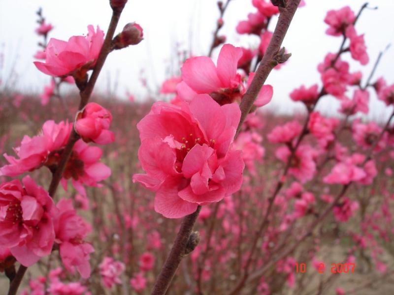 Những cánh đào Nhật Tân khoe sắc chào đón mùa xuân về