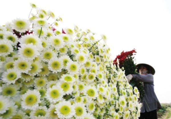 Người dân đất Cảng trồng hoa với cả mồ hôi và tấm lòng