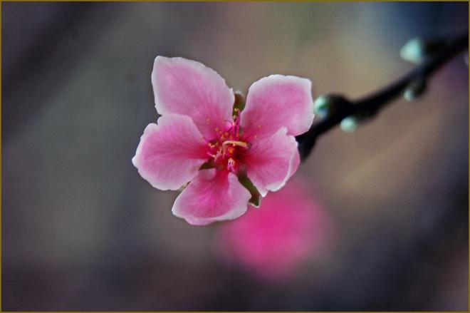 Cánh hoa màu hồng phấn bung nở