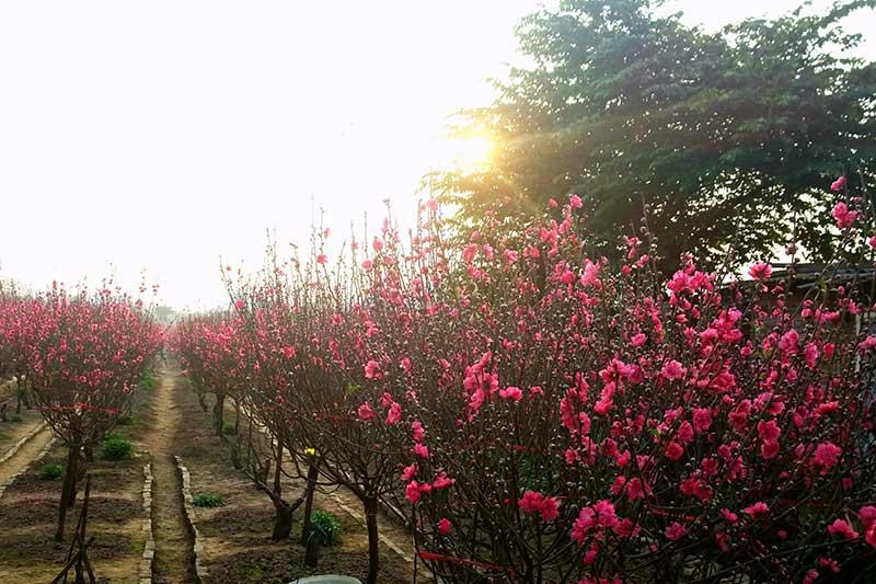 Làng hoa đào Nhật Tân, Hà Nội