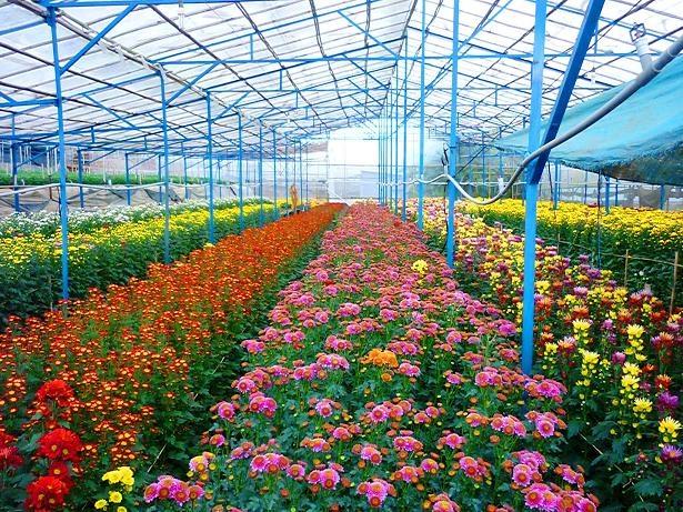 Quy mô cùng kĩ thuật trồng hoa ở đây được người dân chú trọng