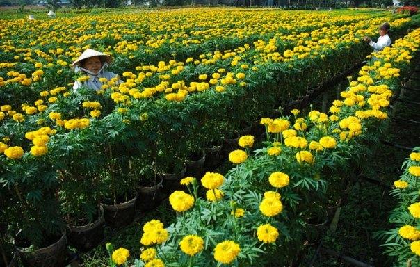 Mùa cúc vạn thọ tại làng hoa Hà Đông