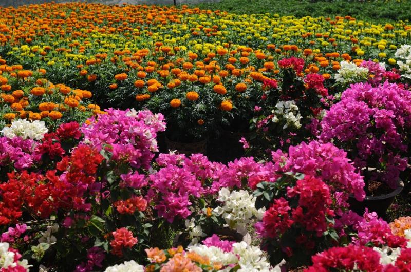 Làng hoa Mỹ Phong, Tiền Giang