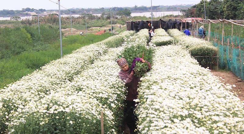 Làng hoa Nhật Tân đang rất nhộn nhịp khi mùa hoa cúc nở rộ