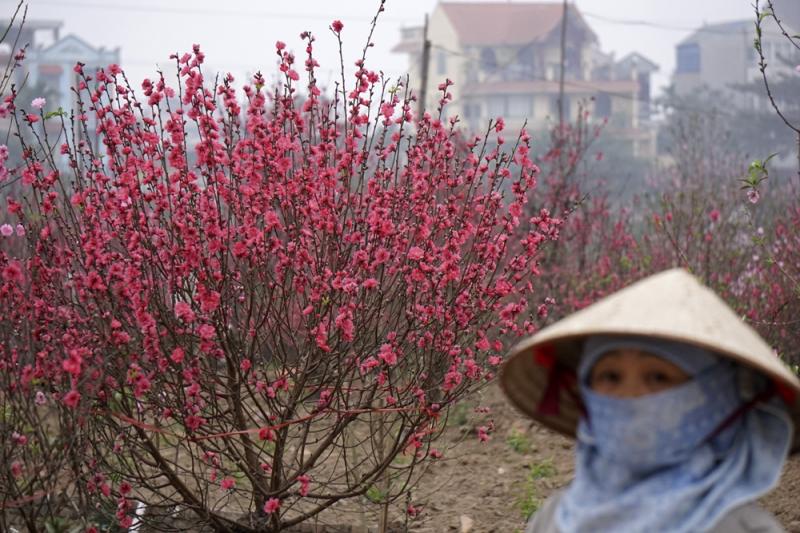 Hoa đào tại làng hoa Nhật Tân