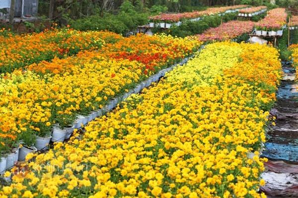 Dịp xuân về, làng hoa Sa Đéc lại tràn đầy sức sống