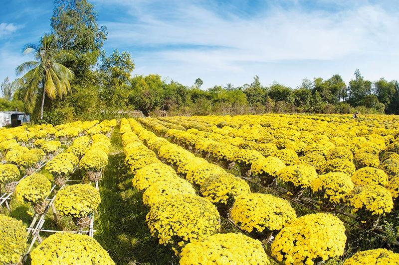 Những chậu cúc đã trổ hoa vàng rực
