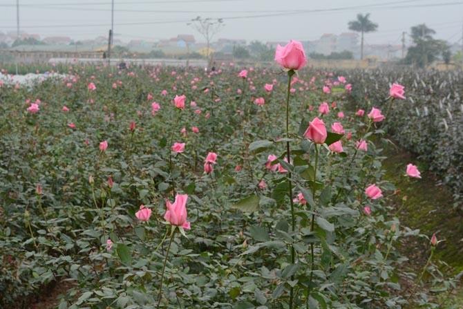 Vườn hồng đẹp mơ màng trong sớm mai