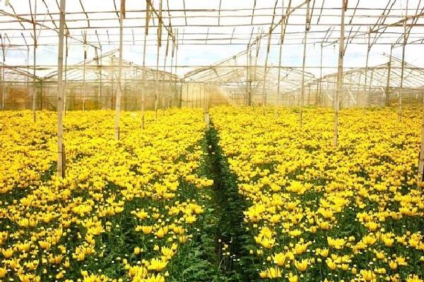 Sắc vàng rực rỡ hoa cúc khi vào mùa