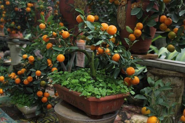 Quất cảnh bonsai một thế mạnh của làng hoa Tứ Liên