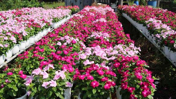 Hoa chậu, hoa cảnh là thế mạnh của làng hoa Xuân Quan